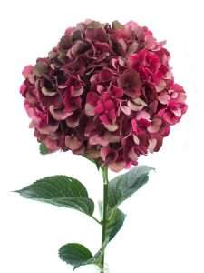 Hortensie Magical Rubyred Classic rot 2