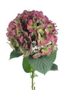 Hortensie Magical Saphir Classic grün aubergine 2