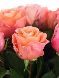 Rosen Lady Magaret lachs rosa creme