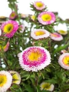 Sommerastern verzweigt rosa weiß