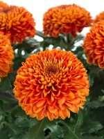 Chrysanthemen Paladov Dark