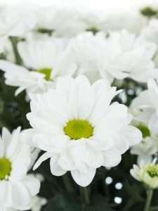 Chrysanthemen verzweigt Bacardi weiß