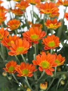 Chrysanthemen verzweigt Space Age orange