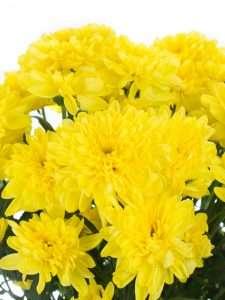Chrysanthemen verzweigt Zembla Sunny gelb