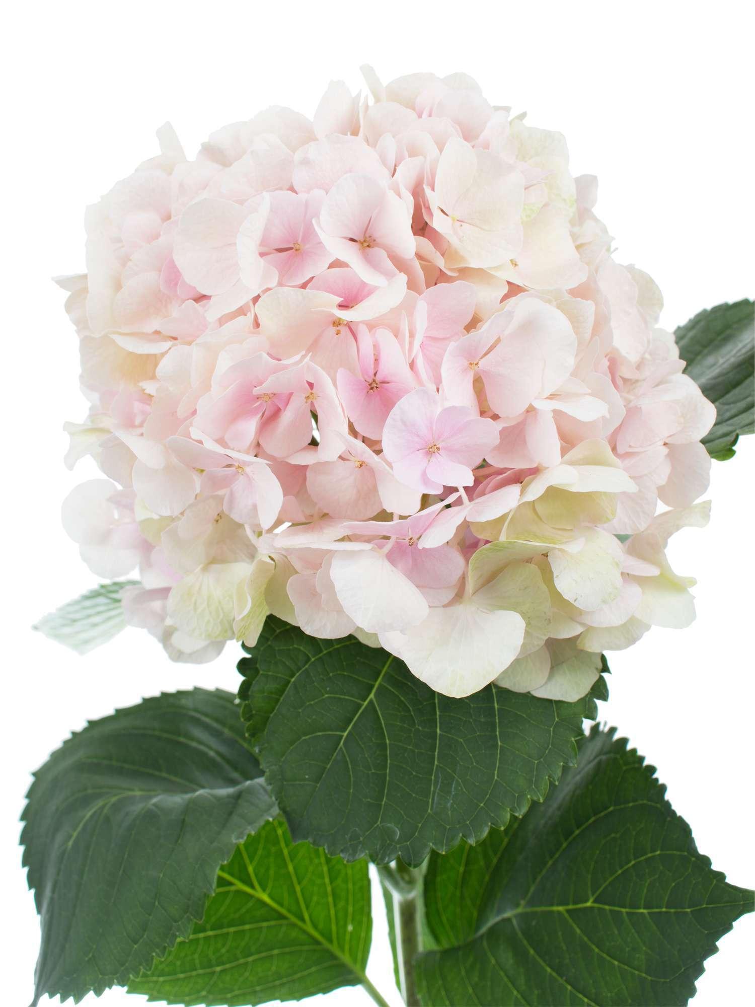 hortensie magical verena classic rosa gr n bestellen. Black Bedroom Furniture Sets. Home Design Ideas