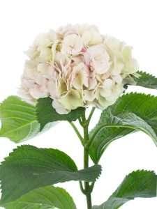 Hortensien Magical Verena Classic rosa grün
