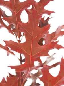 Quercus Rubra Roteiche gefärbt rot