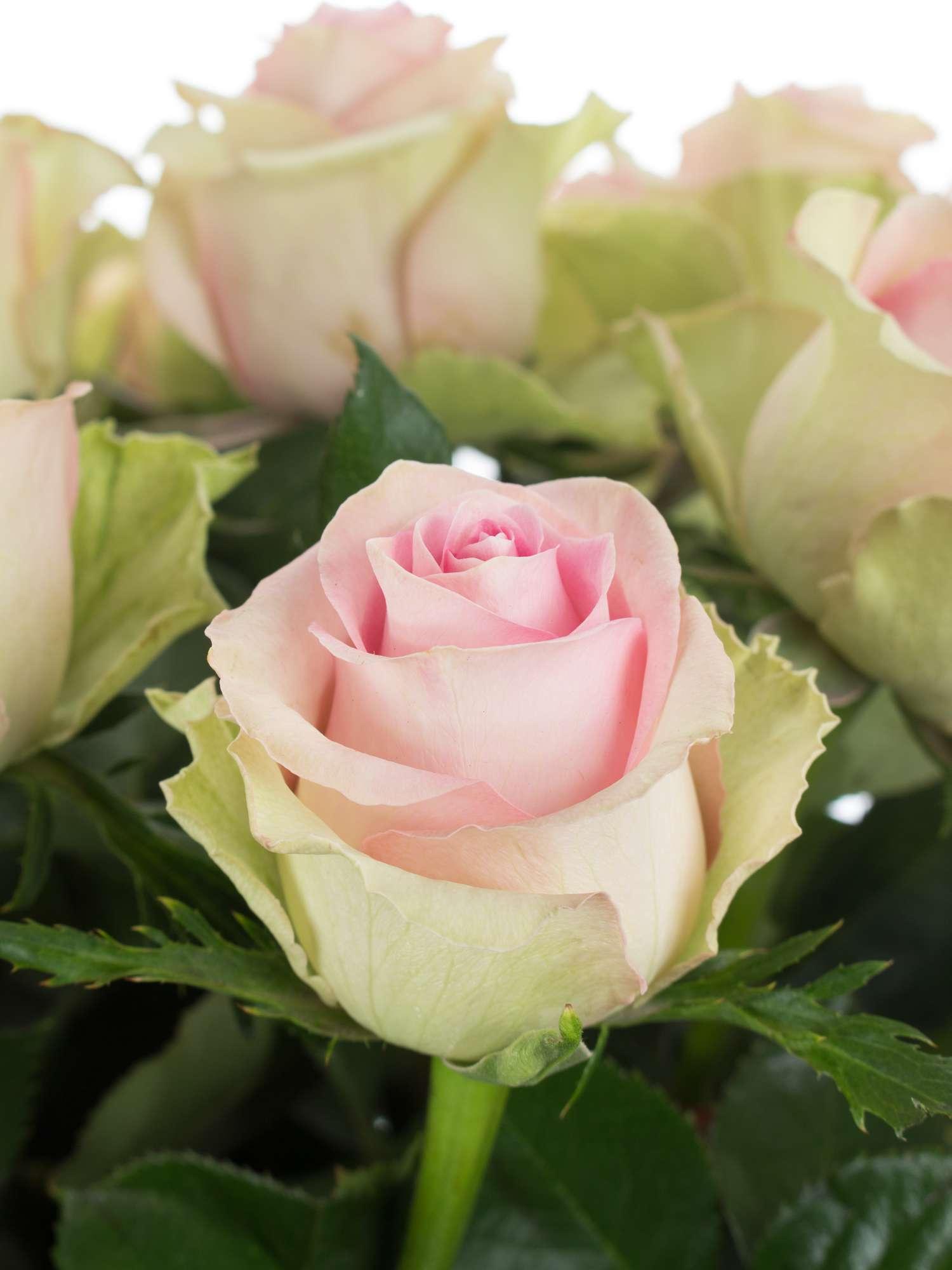 rosen brigitte bardot rosa bestellen blumigo. Black Bedroom Furniture Sets. Home Design Ideas
