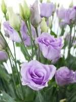 Lisianthus Rosita Lavender