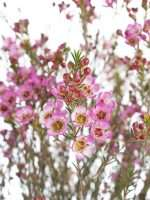 Wachsflower Adi pink