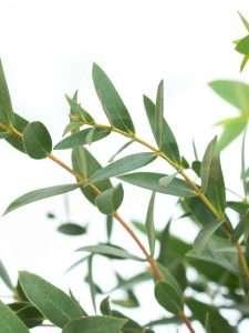 Eukalyptus Parvifolia gruen