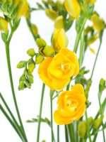 Freesien Soleil gelb