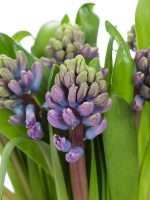 Hyazinthen Purple Star violett