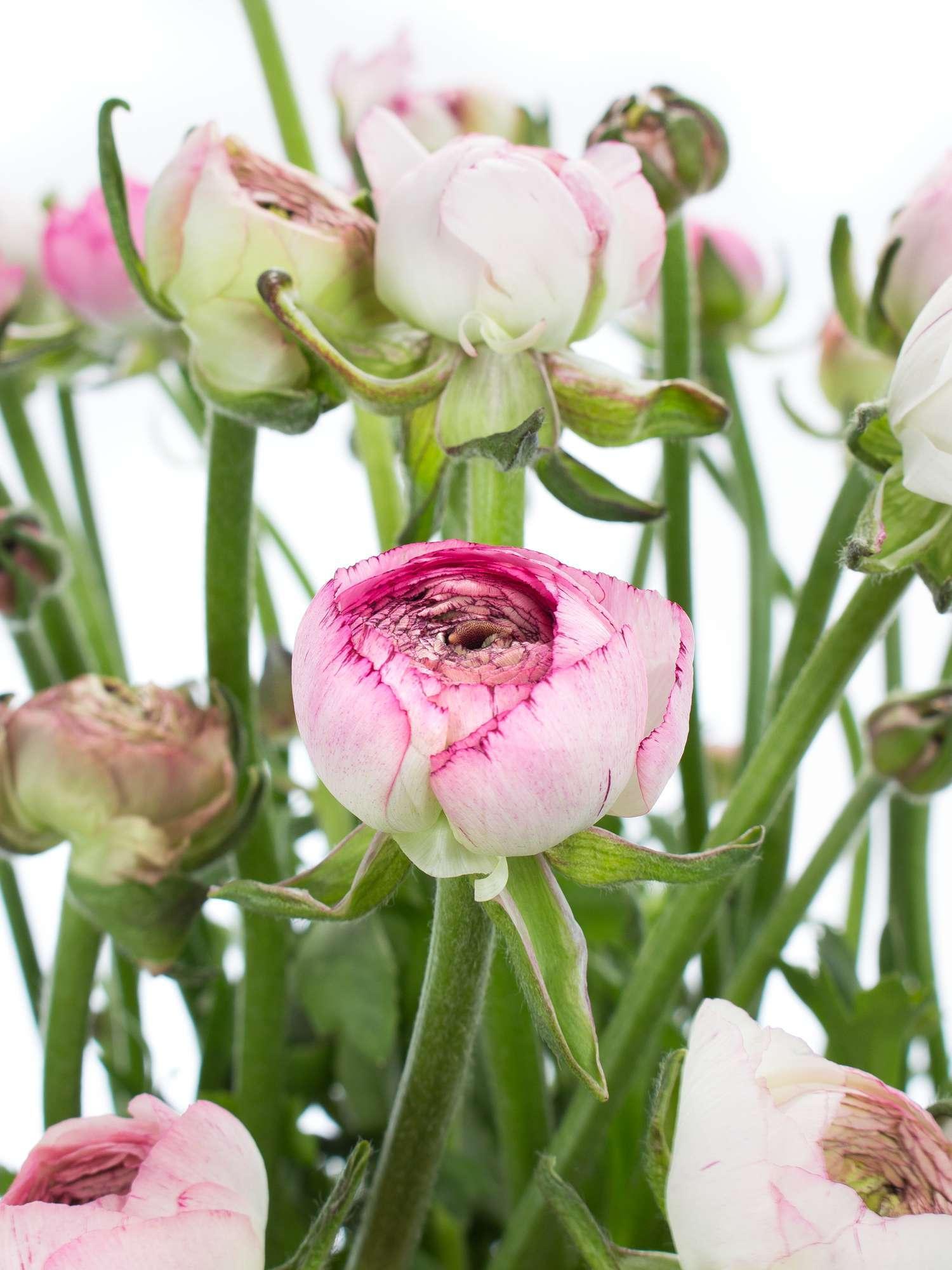 ranunkeln andrea cappuccino rosa wei bestellen blumigo. Black Bedroom Furniture Sets. Home Design Ideas