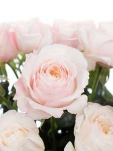David Austin Rosen Keira rosa