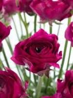 Ranunkeln Cloni Cherry violett
