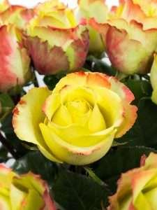 Rosen Zazu gelb-rot