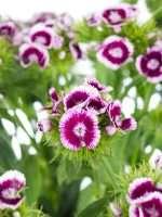 Bartnelken pink-weiss
