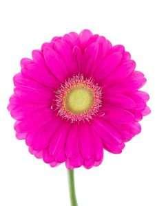 Gerbera Celebrations pink