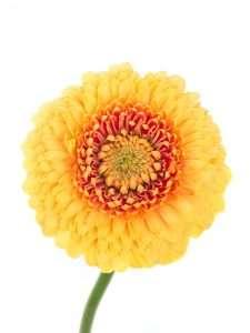 Gerbera mini Adora a Ball gelb orange