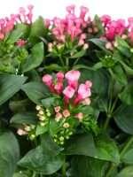 Bouvardien Royal Roza pink lang
