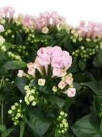 Bouvardien Sweet Roza rosa lang