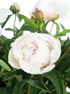 Pfingstrosen Festiva Maxima rosa-weiss