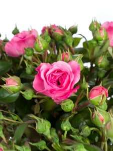 Rosen Baroness Freiland pink