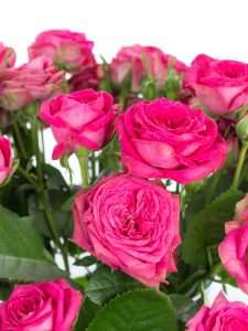 Rosen verzweigt Magic Pepita pink