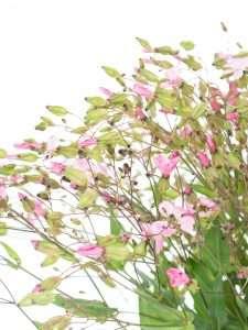 Seifenkräuter Saponaria rosa