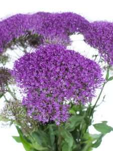 Trachelium Purple Lake Michigan violett